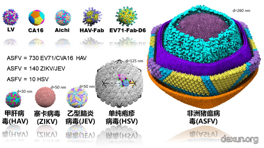 中国团队获首张非洲猪瘟病毒结构高清图
