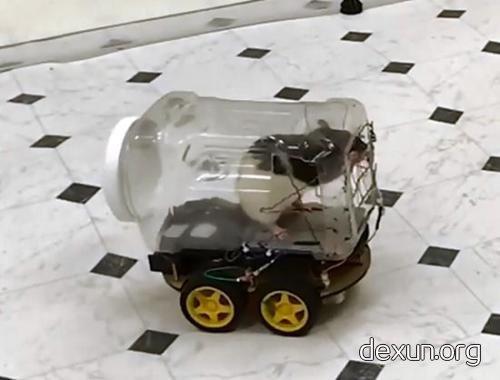 训练中,老鼠驾车。(图片来源:研究视频截图)